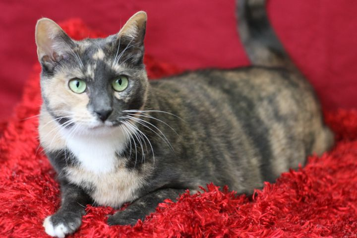 Leda, an adopted Dilute Calico in Blackwood, NJ