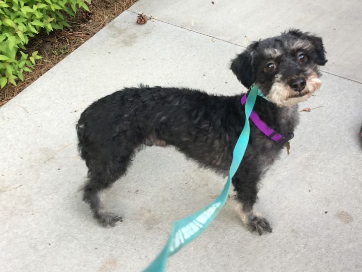 Kato, an adoptable Terrier & Poodle Mix in Littleton, CO