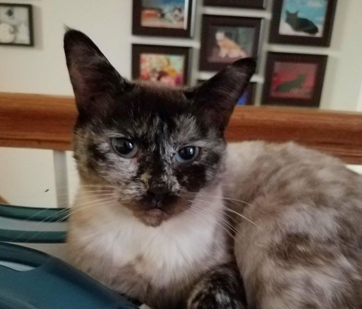 Annabelle, an adoptable Domestic Short Hair & Siamese Mix in Fredericksburg, VA