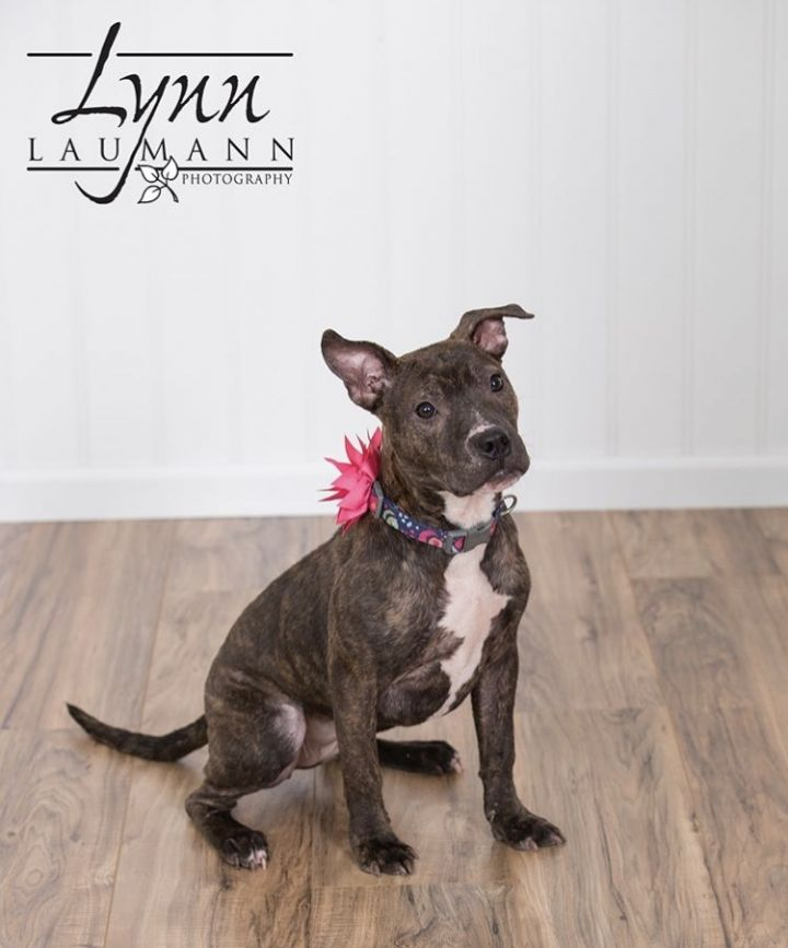 Juniper, an adopted American Staffordshire Terrier & Pit Bull Terrier Mix in Saint Paul, MN
