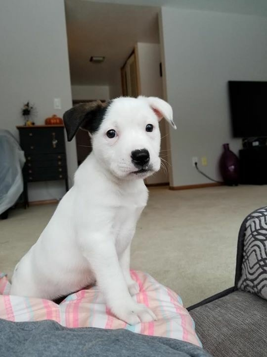 Phoebe, an adopted American Staffordshire Terrier & Pit Bull Terrier Mix in Saint Paul, MN