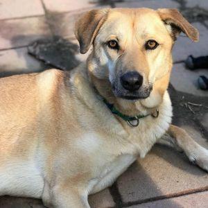 Darla German Shepherd Dog Dog