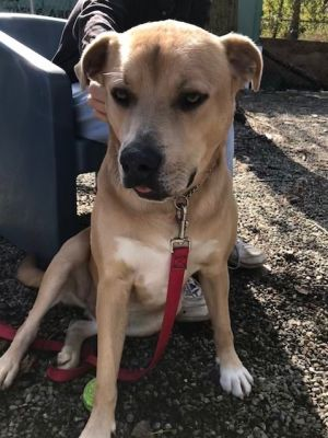Peanut Labrador Retriever Dog