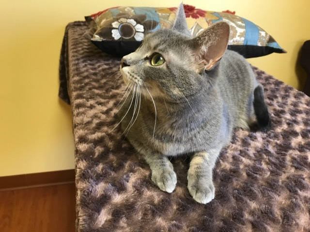 Aria, an adoptable Tabby in Waverly, IA