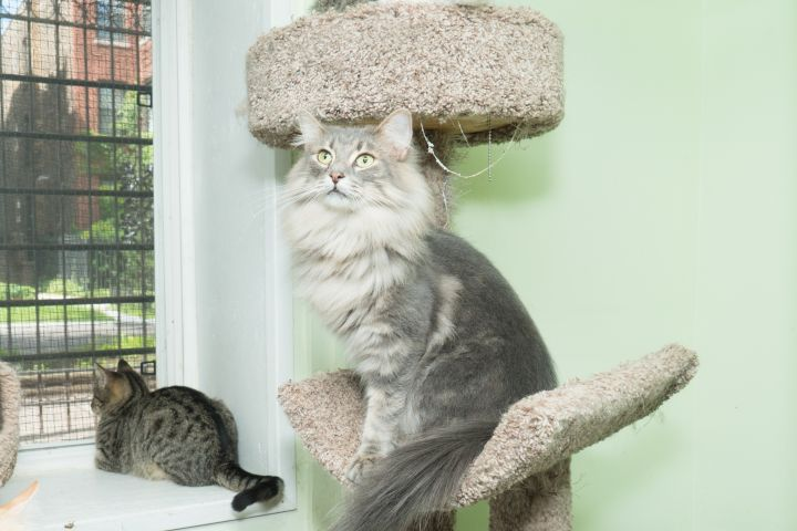 Charm, an adoptable Maine Coon Mix in Chicago, IL