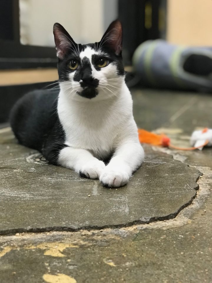 Bobby, an adoptable Domestic Short Hair Mix in Hendersonville, TN