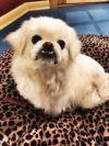 Pekingese Dog: Casper