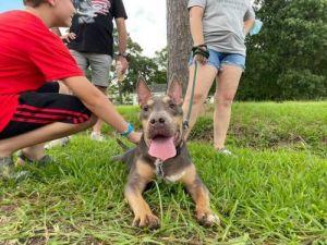 Ash Bull Terrier Dog