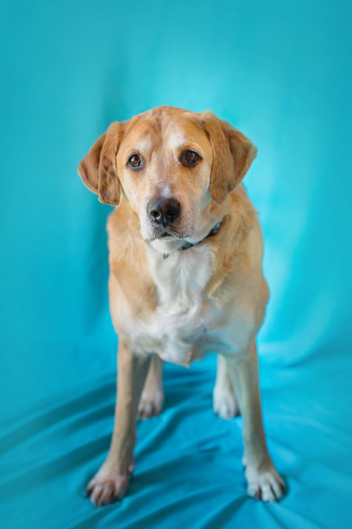 -Roger in Maine, an adopted Labrador Retriever & Hound Mix in Portland, ME