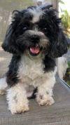 Bichon Frise Dog: Daisy Rae