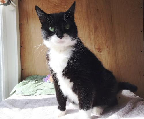 Zoe, an adoptable Tuxedo & Domestic Short Hair Mix in Springfield, OR