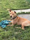 Staffordshire Bull Terrier Dog: Boomer