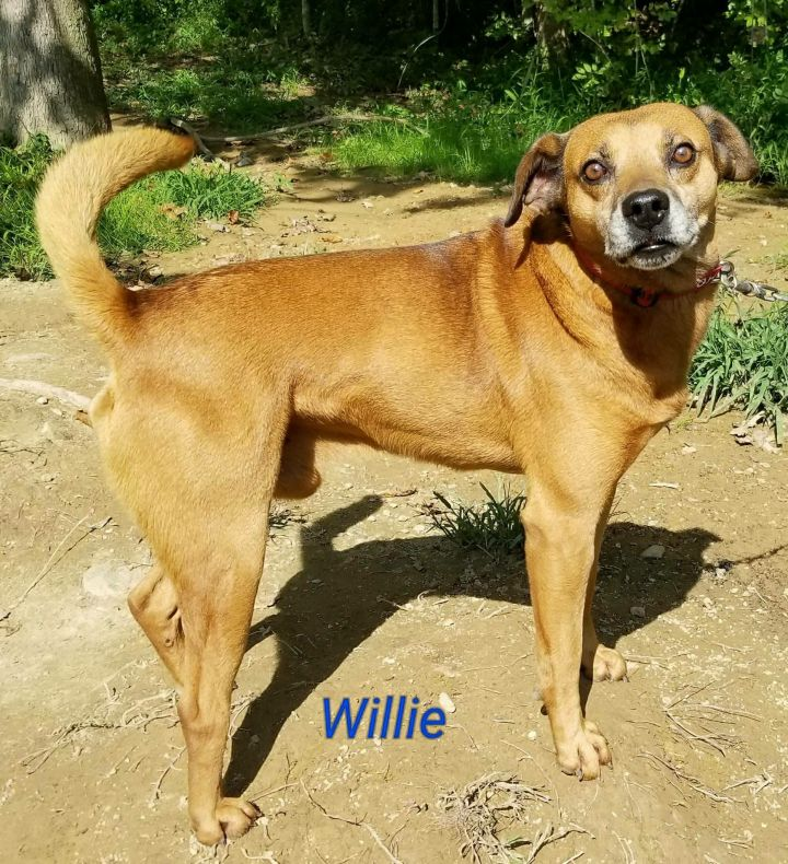 Willie, an adopted Feist Mix in Inez, KY