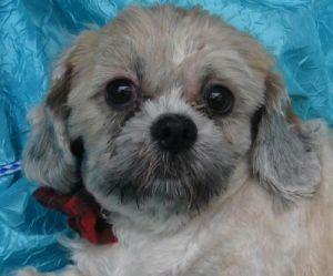 Dog for adoption - Flynn Flat Bread DelleBovi, a Shih Tzu