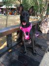 Manchester Terrier Dog: Bambi