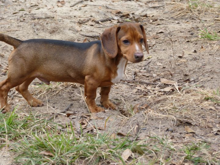 Oliver, an adopted Dachshund & Beagle Mix in Macon, GA