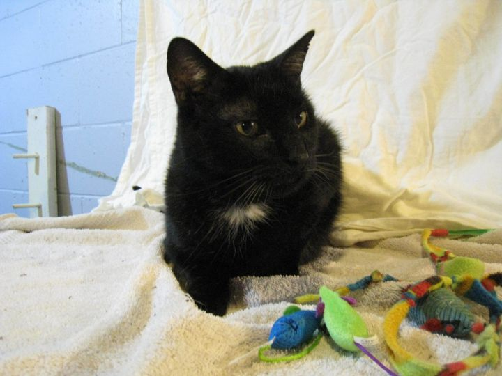 Leo, an adoptable Domestic Short Hair in Waverly, IA