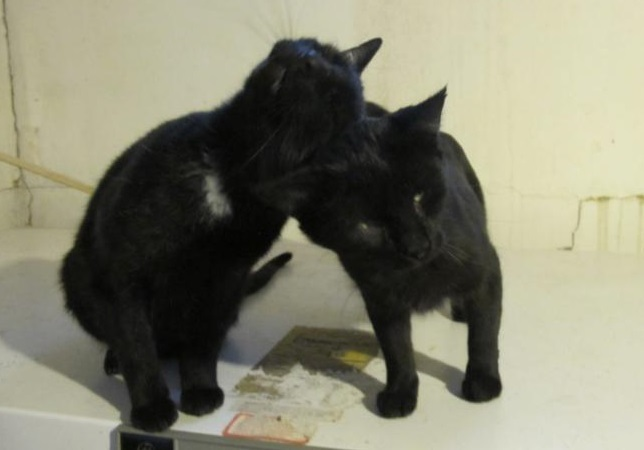 Sura & Leo, an adoptable Domestic Short Hair in Waverly, IA