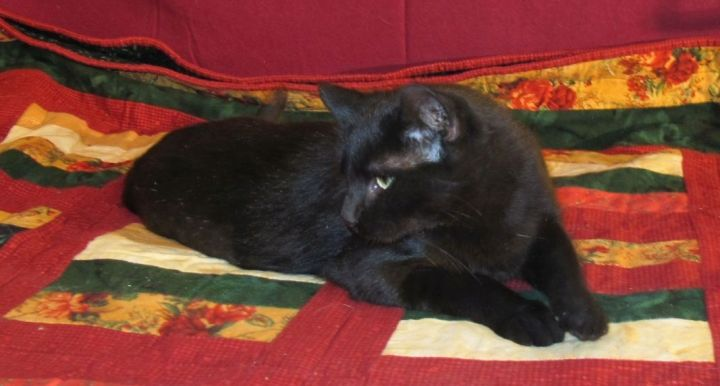 Sura **MEET AT AVE OF SAINTS VET**, an adoptable Domestic Short Hair in Waverly, IA