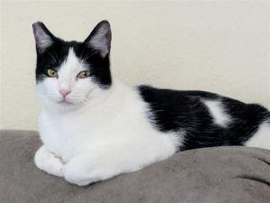 Zavier Domestic Short Hair Cat