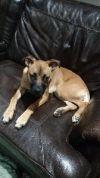 Boxer Dog: Angel Hope