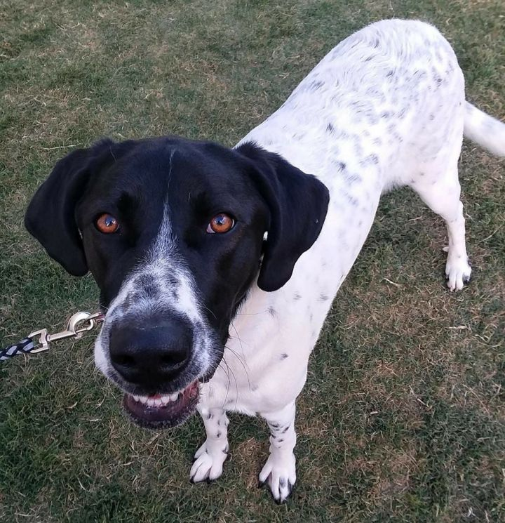 Dog For Adoption Bailey A Great Pyrenees German Shorthaired