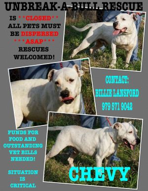 Chevy American Staffordshire Terrier Dog