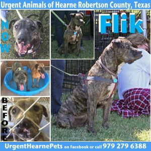 Flik Black Mouth Cur Dog
