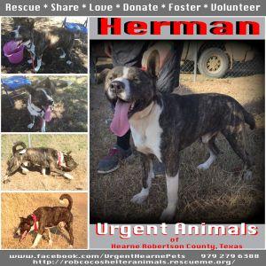 Herman Akita Dog
