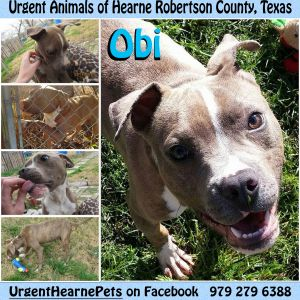 Obi is about 45 pounds He is two years old He is high energy so he needs an active home