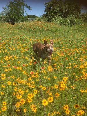 Rosie American Staffordshire Terrier Dog