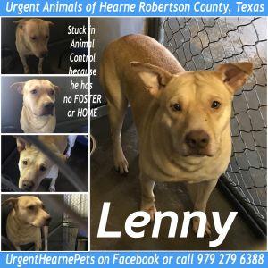 Lenny Labrador Retriever Dog