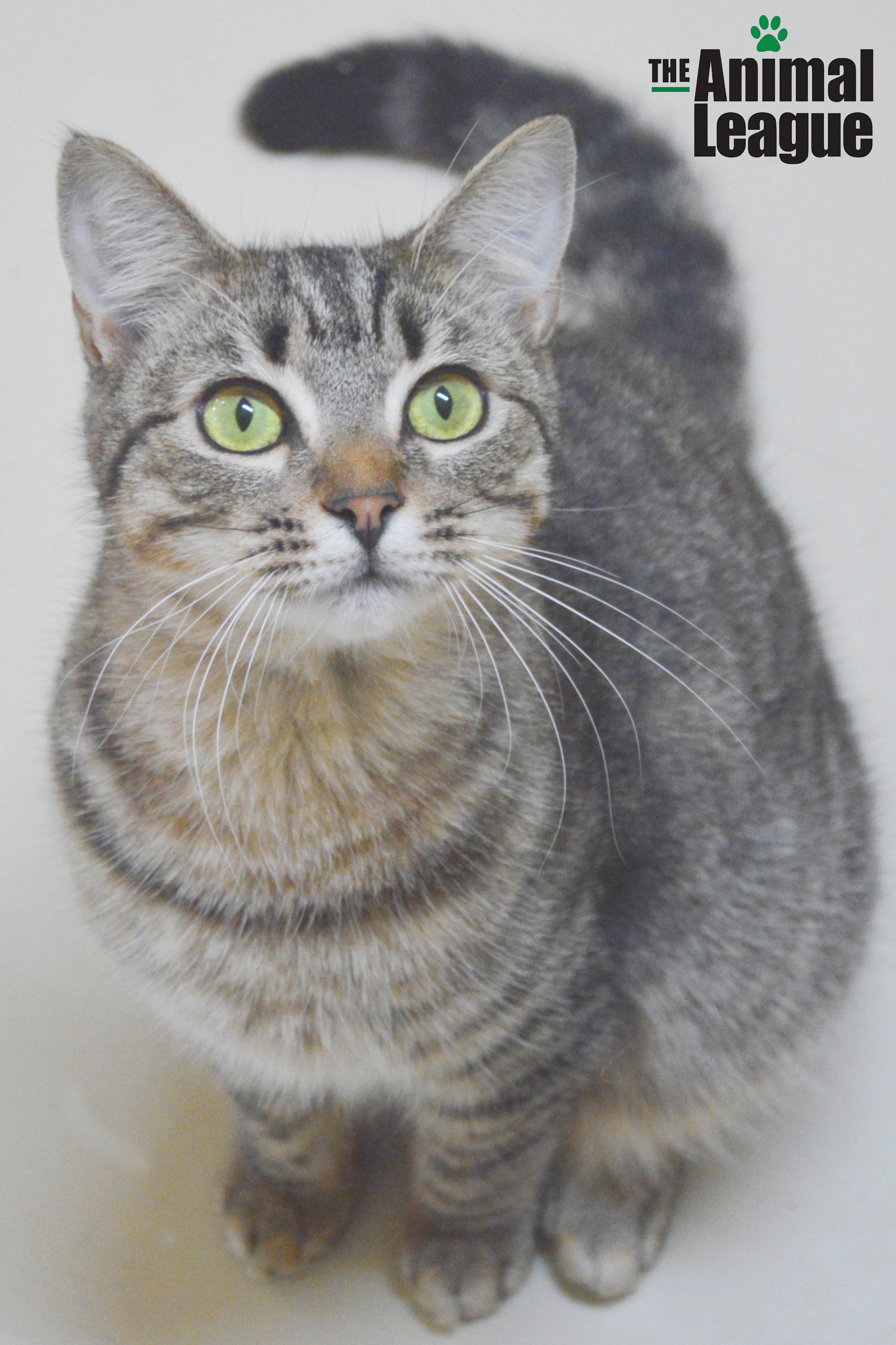 Cat for Adoption – Baby Ruth near Clermont FL