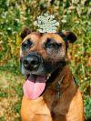 Belgian Shepherd / Malinois Dog: Lucy