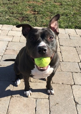 Luna, an adopted Pit Bull Terrier & American Staffordshire Terrier Mix in Plainfield, IL