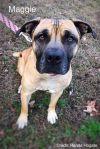 Mastiff Dog: Maggie