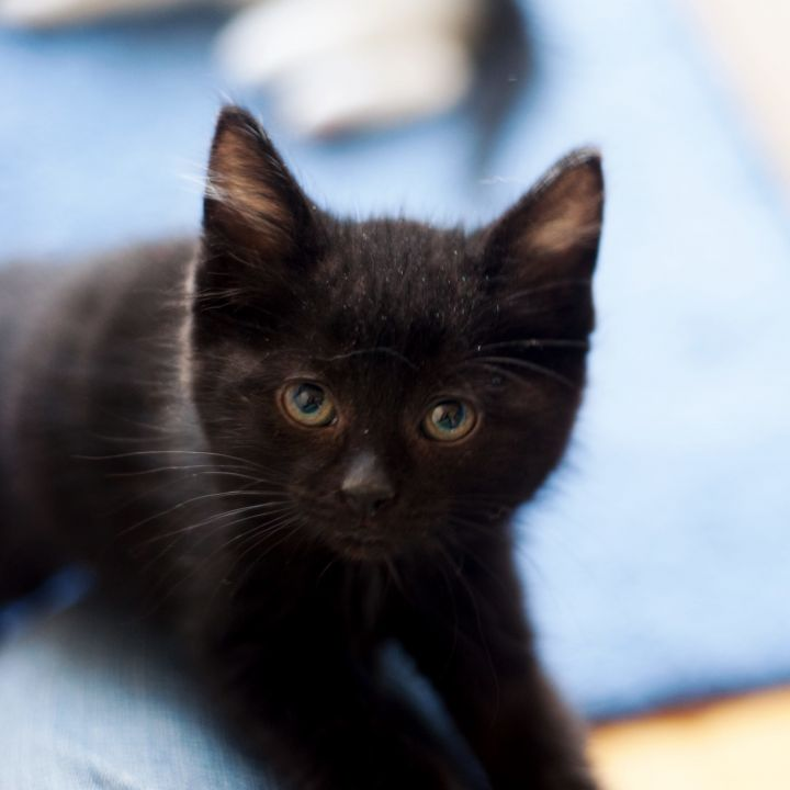 Turkey, an adopted Domestic Medium Hair Mix in Madison, WI