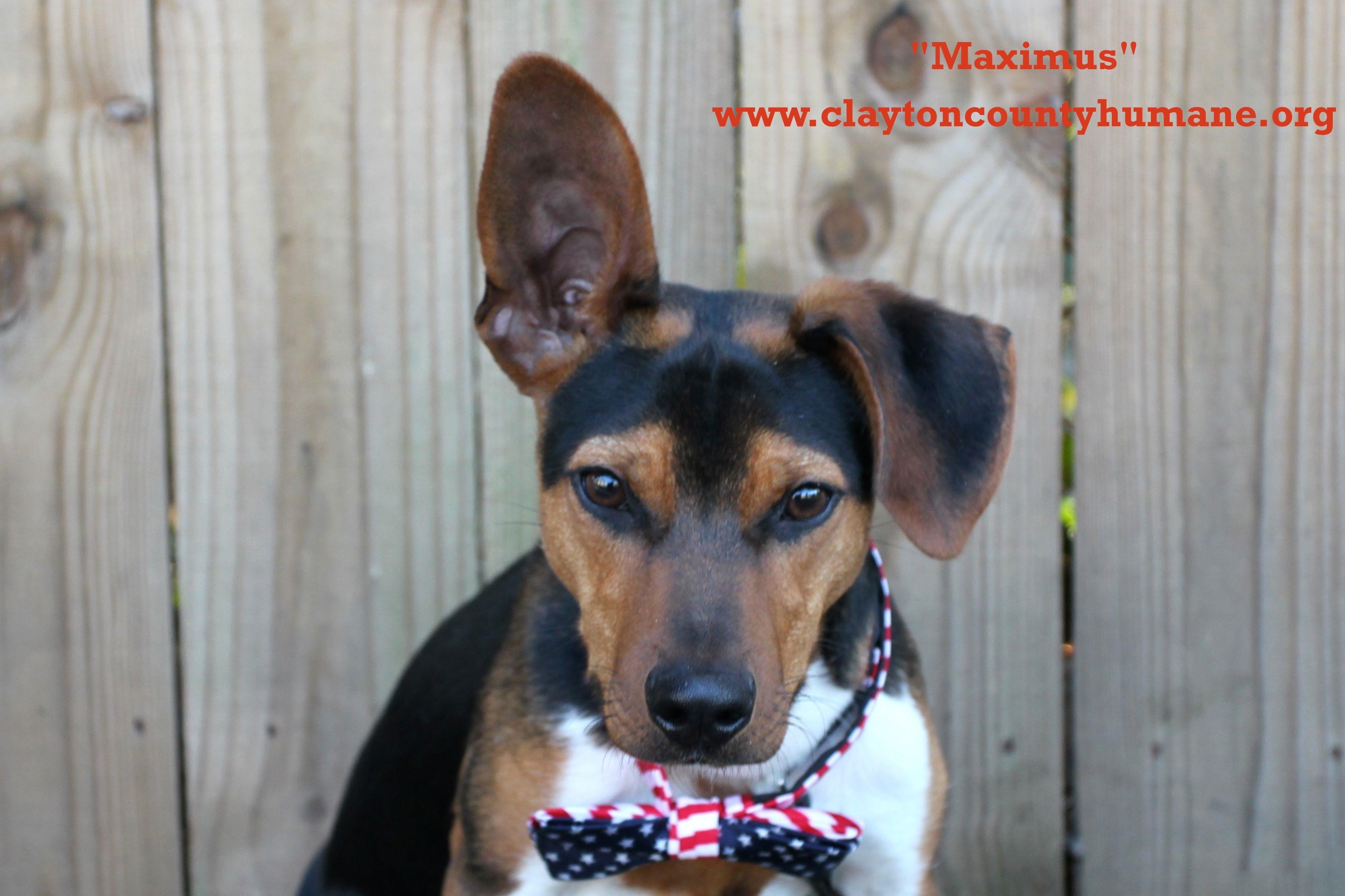 Dog for Adoption – Maximus, near Jonesboro, GA   Petfinder   Toy Dog Rescue Atlanta