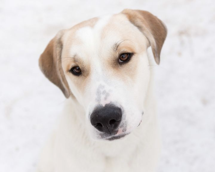 Blizzard, an adopted Great Pyrenees Mix in Winnipeg, MB