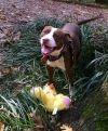 Pit Bull Terrier Dog: Carter