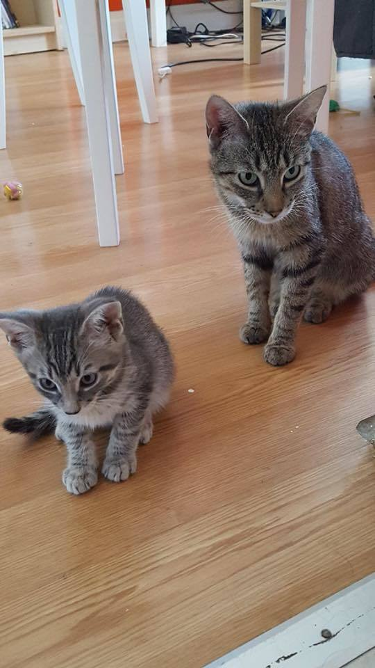 Lucille and Buster, an adoptable Domestic Short Hair in Burlingham, NY