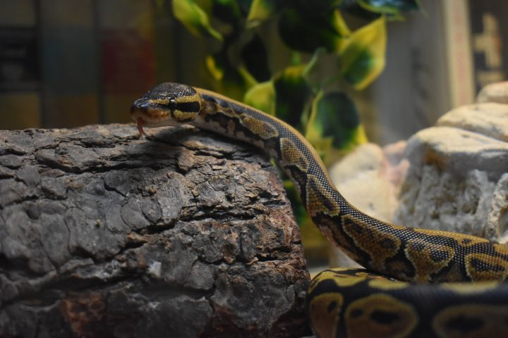 Mr. Sid, an adopted Ball Python in Burlingham, NY