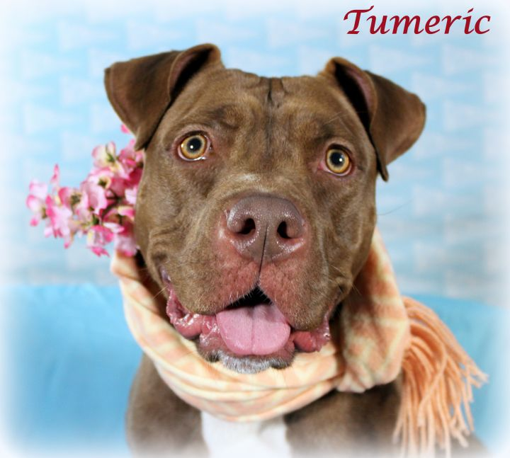 Turmeric (Sweet Young Girl, Good with Kids & Dogs), an adopted Chocolate Labrador Retriever & Pit Bull Terrier Mix in Jersey City, NJ