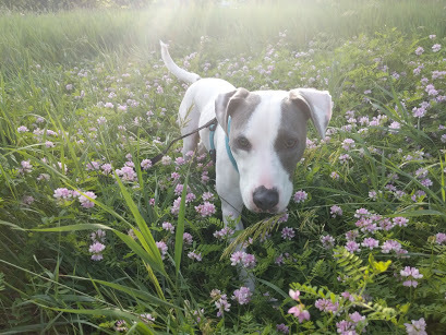 Payaso, an adoptable Jack Russell Terrier & Pit Bull Terrier Mix in Minneapolis, MN