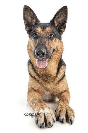 Dog For Adoption Gunner A German Shepherd Dog In Irvine Ca