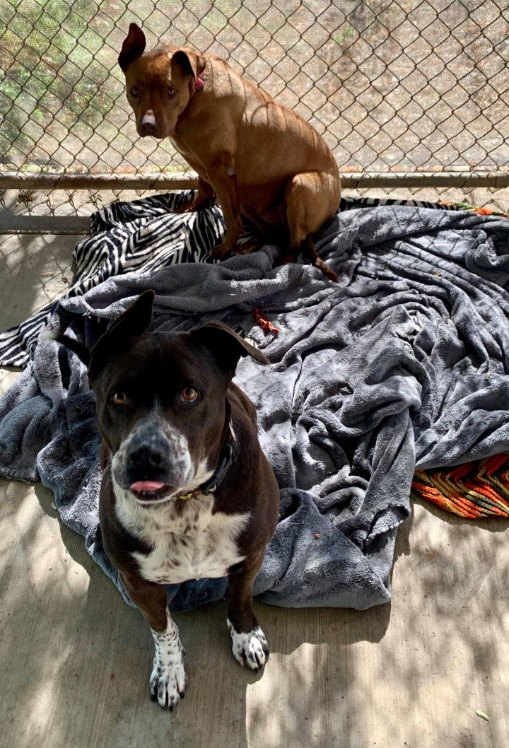 Buddy, an adoptable Pit Bull Terrier & Pointer Mix in Lemoore, CA