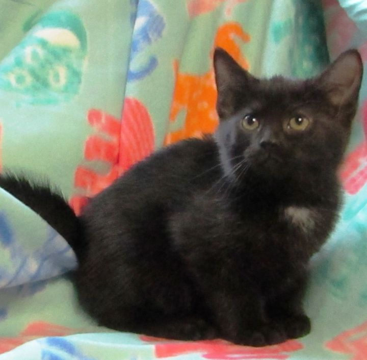 Gizmo, an adopted Domestic Short Hair in Princeton, IN