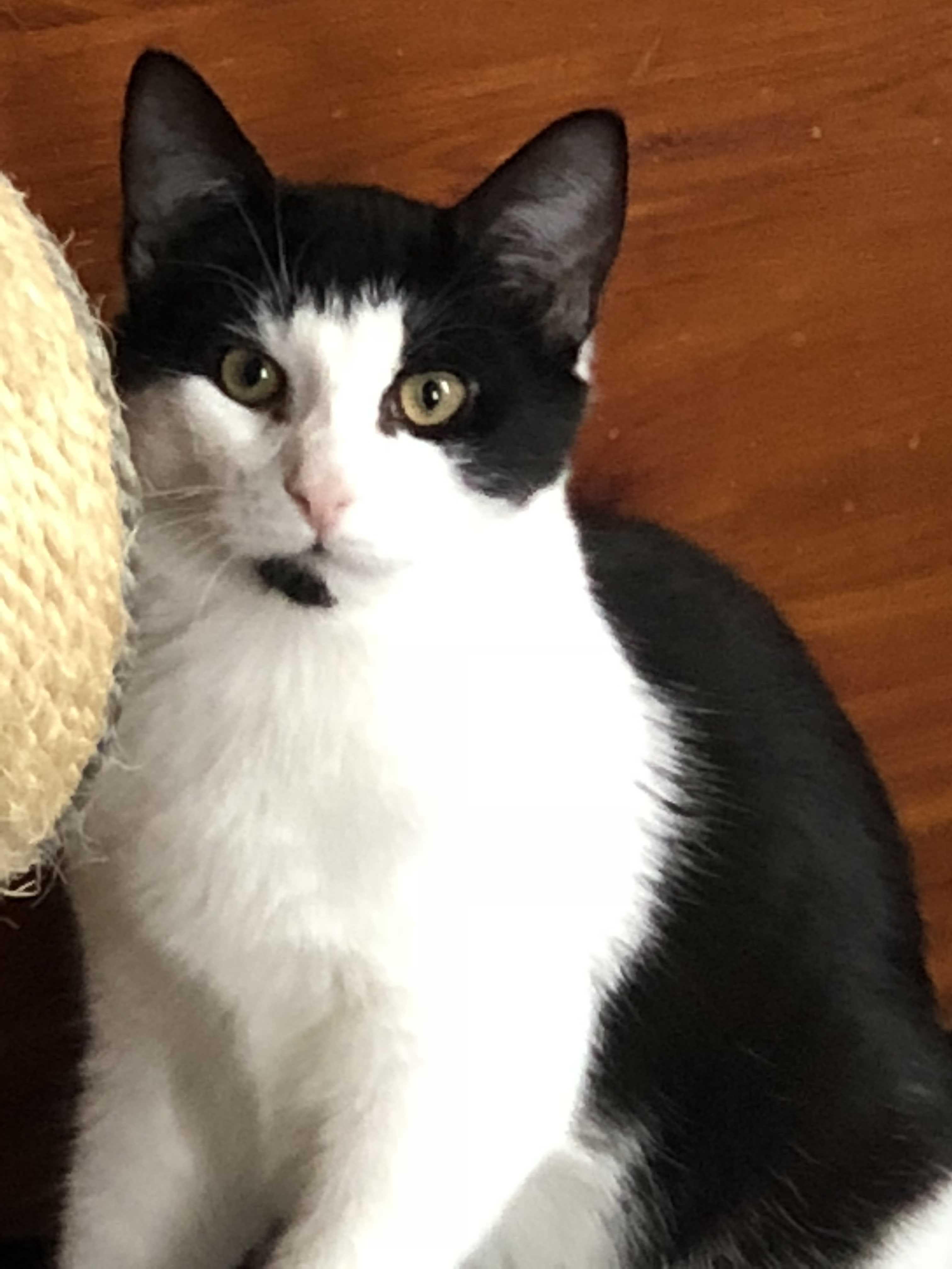 Cat for Adoption – Shovels, near New Hartford, NY   Petfinder