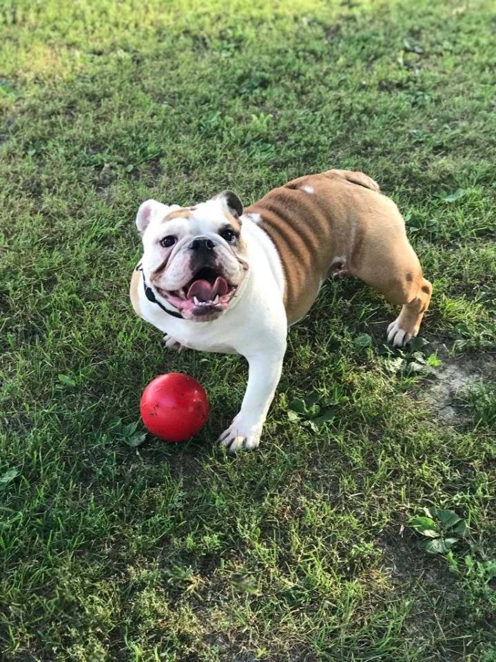 Olive, an adoptable English Bulldog in Decatur, IL
