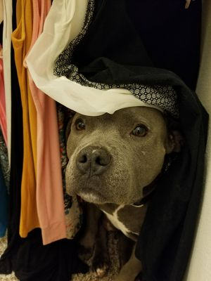 Peppa Staffordshire Bull Terrier Dog